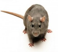 Rat Control South Woodham
